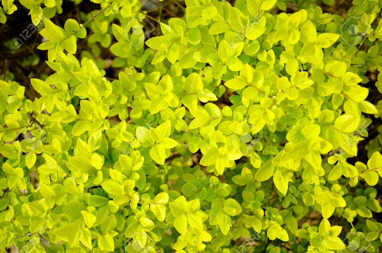 Spring Yellow Bushes Stock Photo Picture And Royalty Free Image
