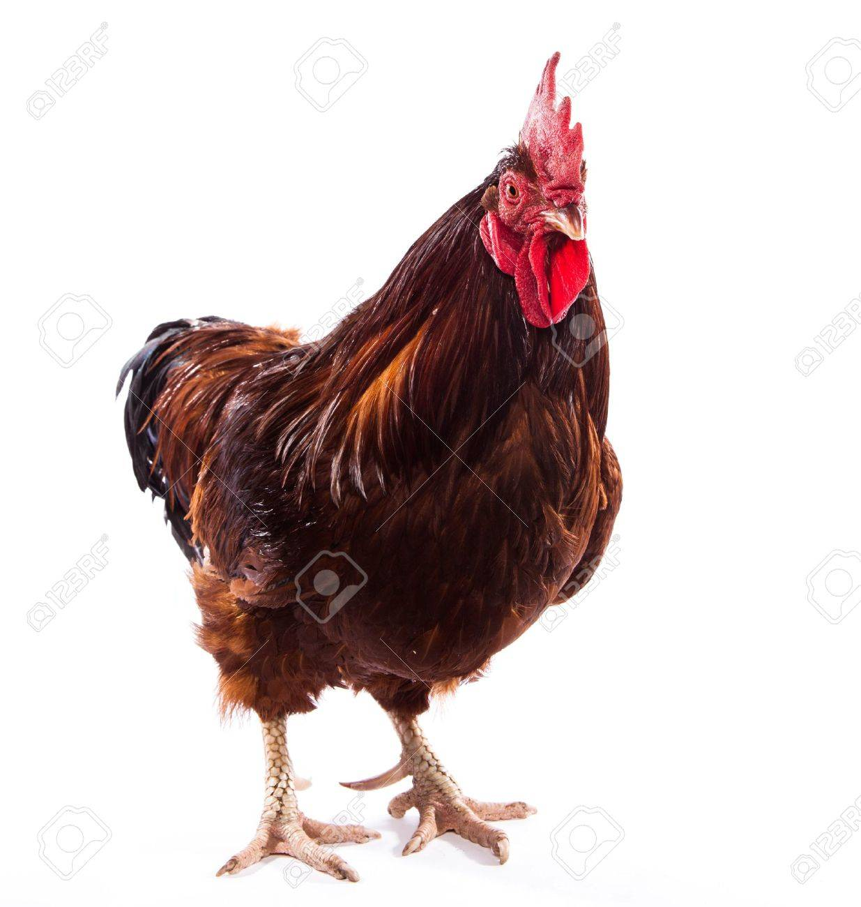 colorful rooster isolated on white stock photo picture and