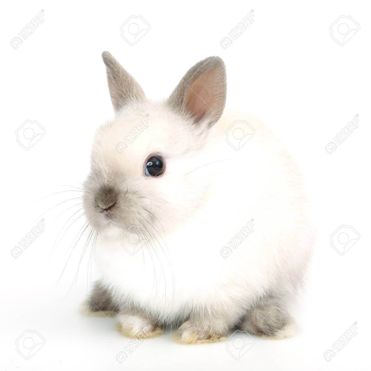 Image of: Feed Cute White Baby Bunny Rabbit On The White Background Stock Photo 91262872 123rfcom Cute White Baby Bunny Rabbit On The White Background Stock Photo