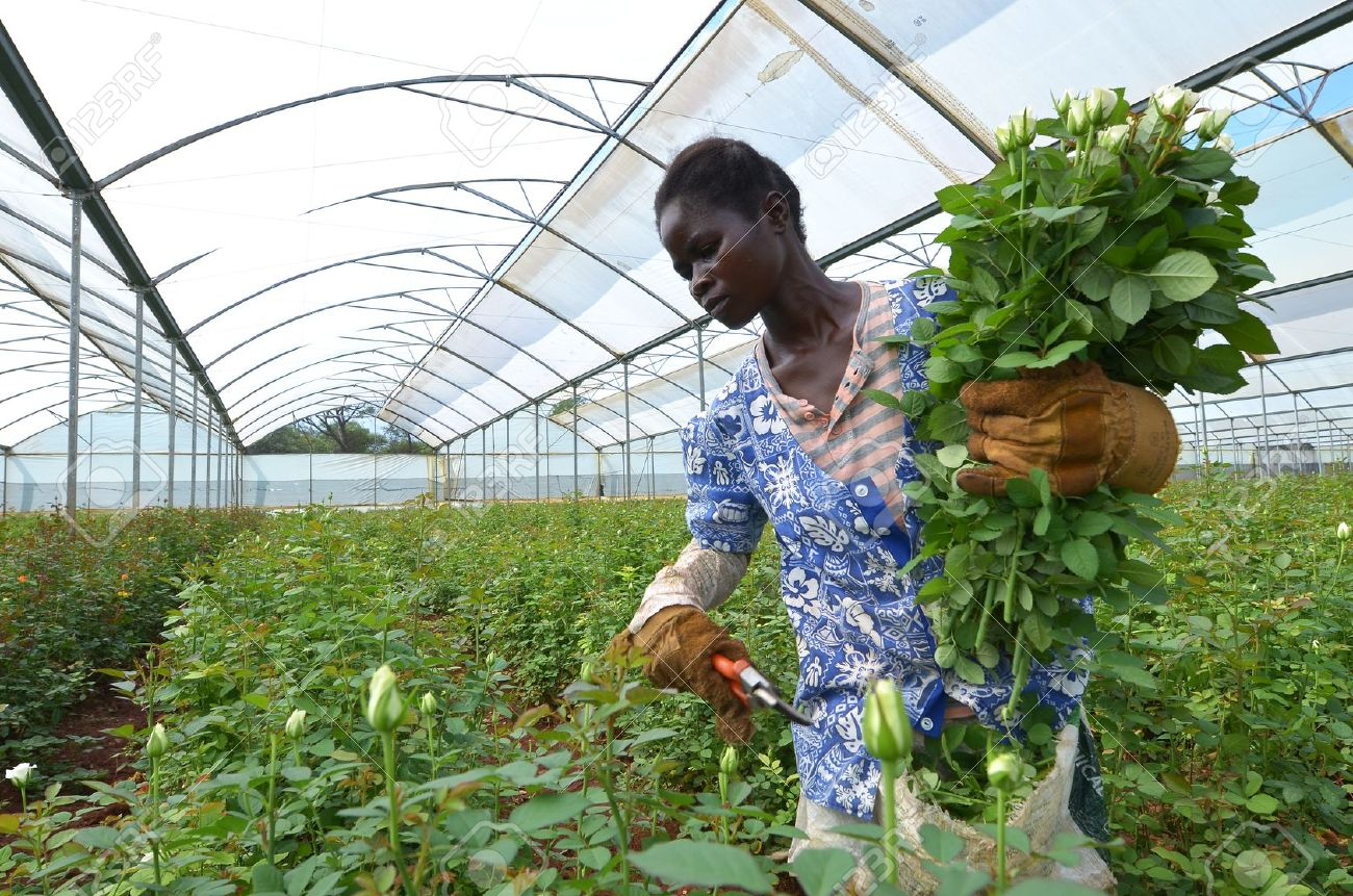 The greenhouse pr - Lusaka Zambia December 2 African Women In The Greenhouses Gather Roses For Export