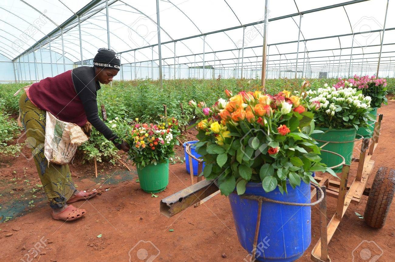 The greenhouse pr - Lusaka Zambia December 2 African Women In The Greenhouses Select Roses For Export