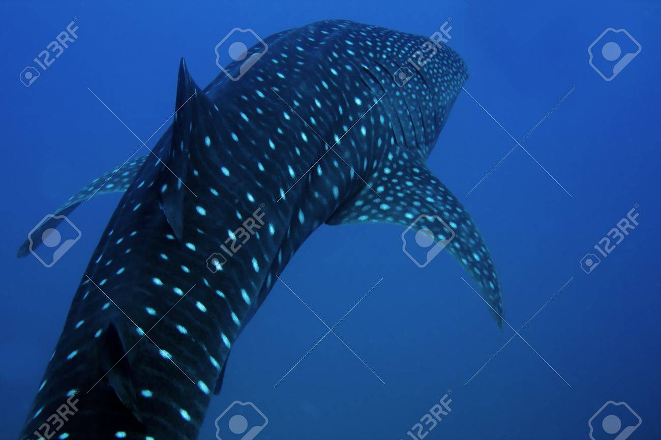 whale shark encountered off sail rock in the gulf of thailand stock photo whale shark encountered off sail rock in the gulf of thailand