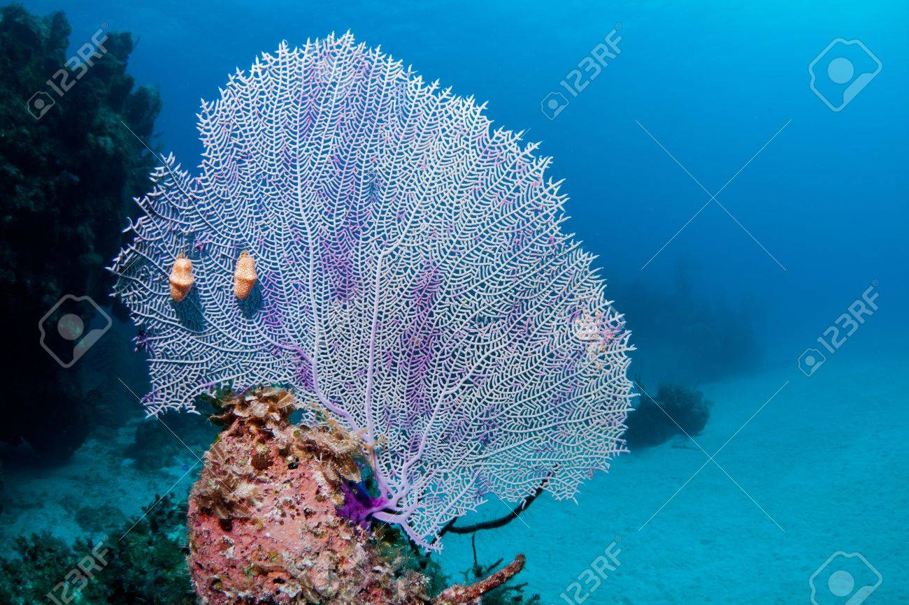 Fan coral with two flamingo tongues on a coral reef in the bahamas fan coral with two flamingo tongues on a coral reef in the bahamas stock photo publicscrutiny Choice Image