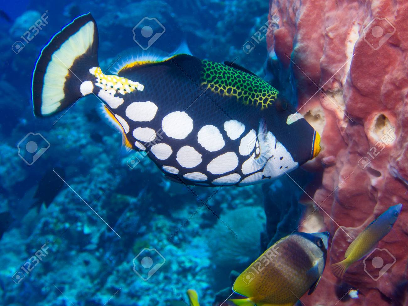 clown triggerfish sponge and butterfly fish on a coral reef