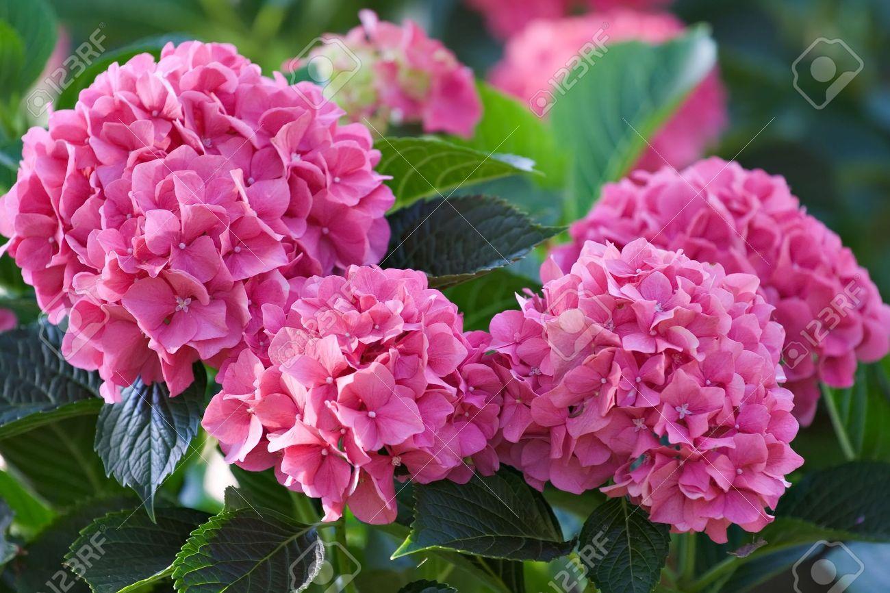 Grandes Fleurs Rose Profond Hydrangea Aout Ete Fleur