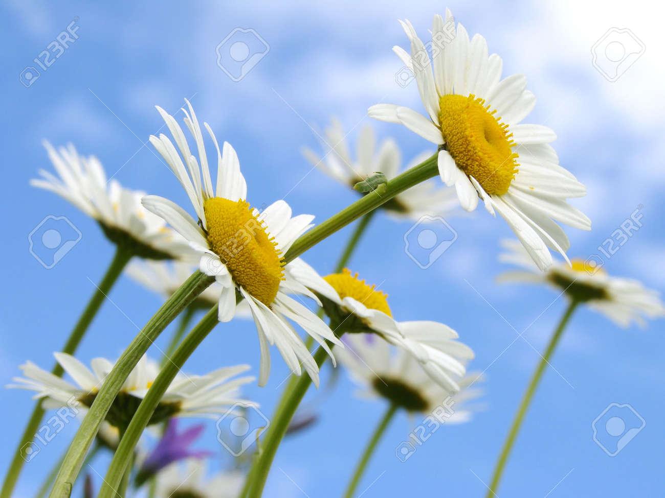 wild daisies against blue sky Stock Photo - 3150866