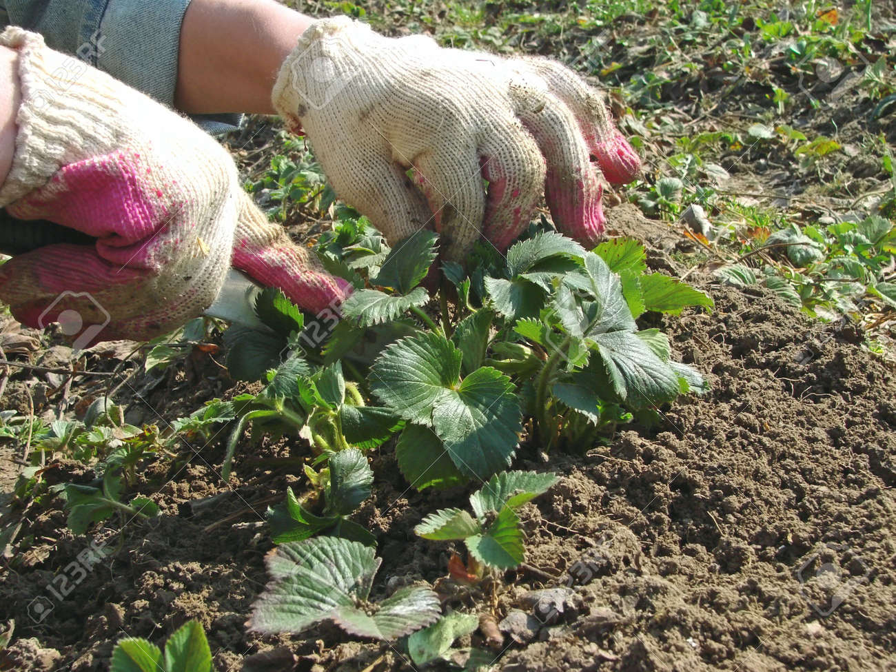 Kitchen Garden Plants Woman Hands Caring The Strawberry Plants At The Kitchen Garden