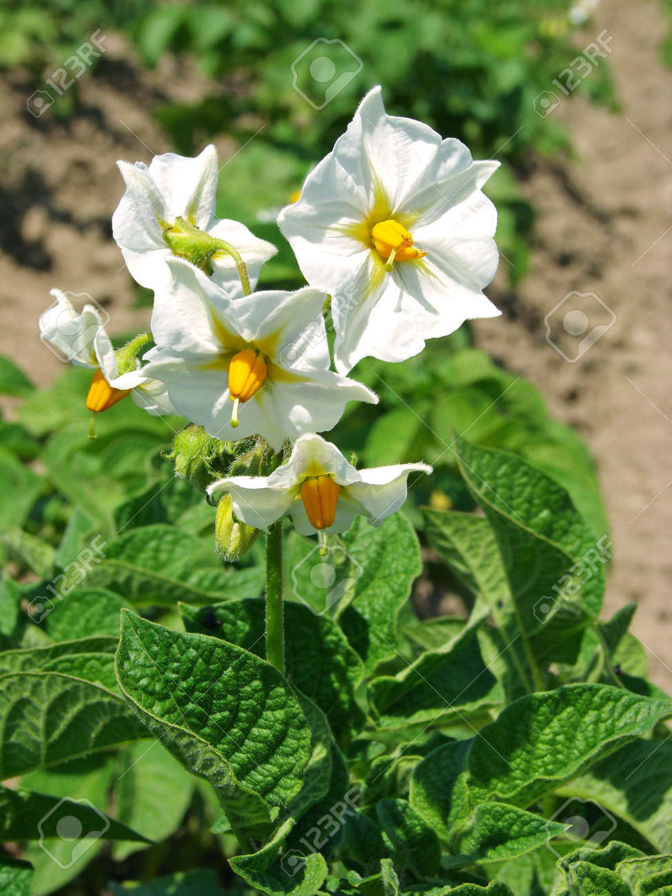 Potato Plant With White Flowers On The Vegetable Bed Stock Photo