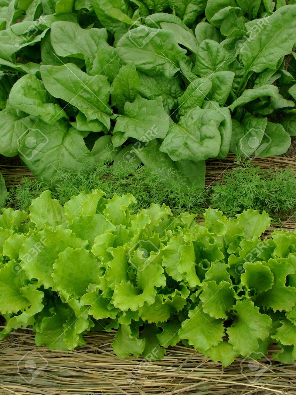 some types of greens growing together on mixed vegetable bed Stock Photo - 9560890