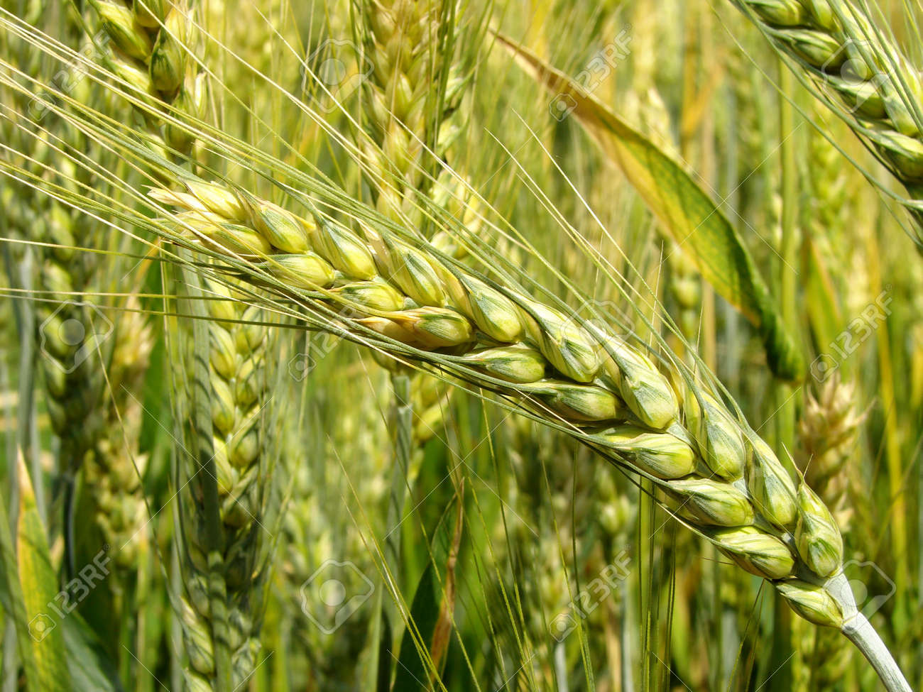ripening wheat ears in sunny day Stock Photo - 14026130