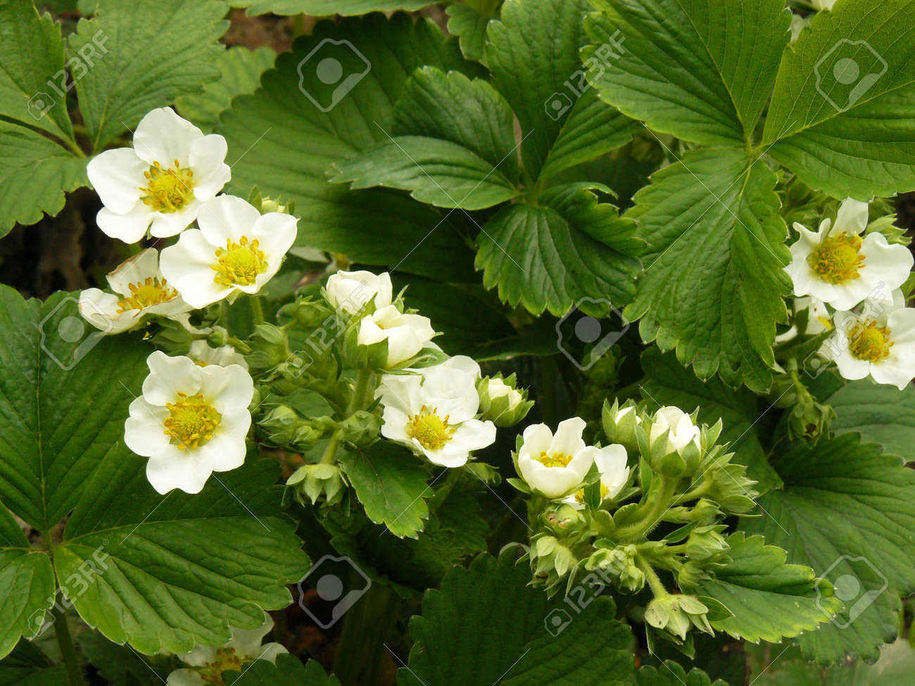 Strawberry Plants Flowering In The Garden Stock Photo, Picture And ...