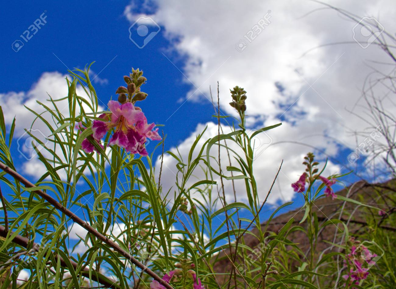 Pink Desert Willow View From Below Plant With Blue Cloudy Skies