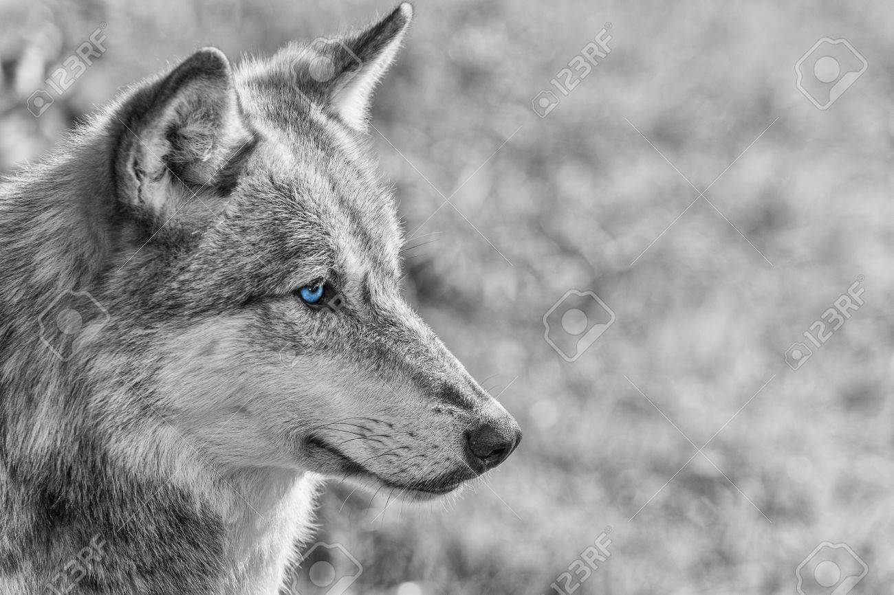 Zwart wit foto van de noord amerikaanse grijze wolf, canis lupus ...