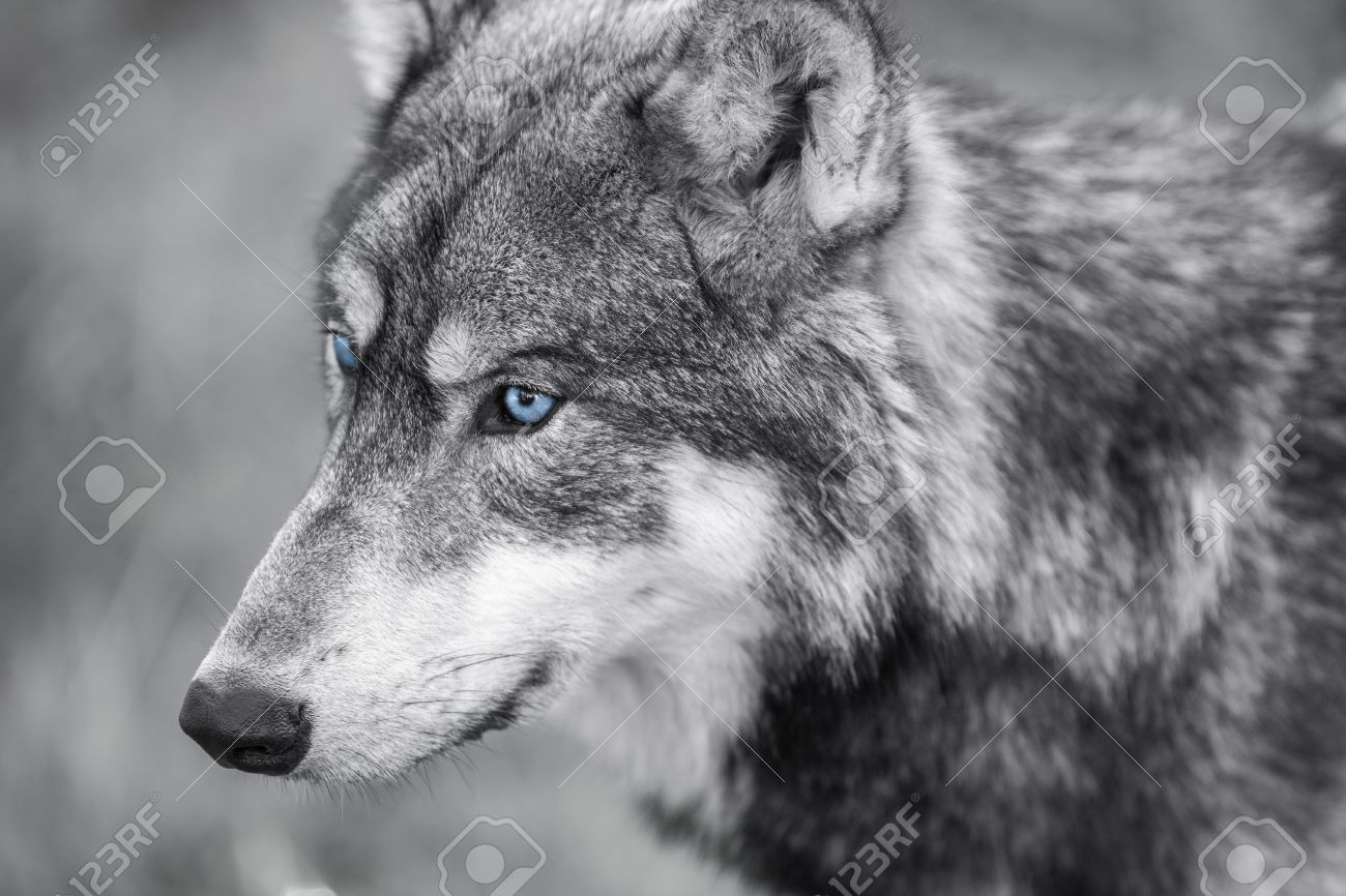 Black and white photograph of north american gray wolf canis lupus with blue eyes