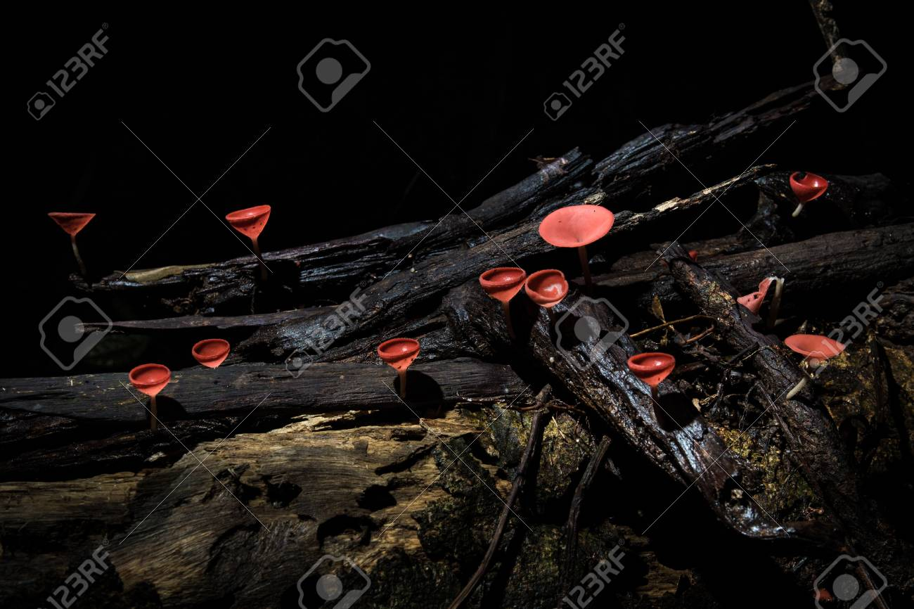 Close up group of red cup mushroom on a branch.Selective focus. - 84293558
