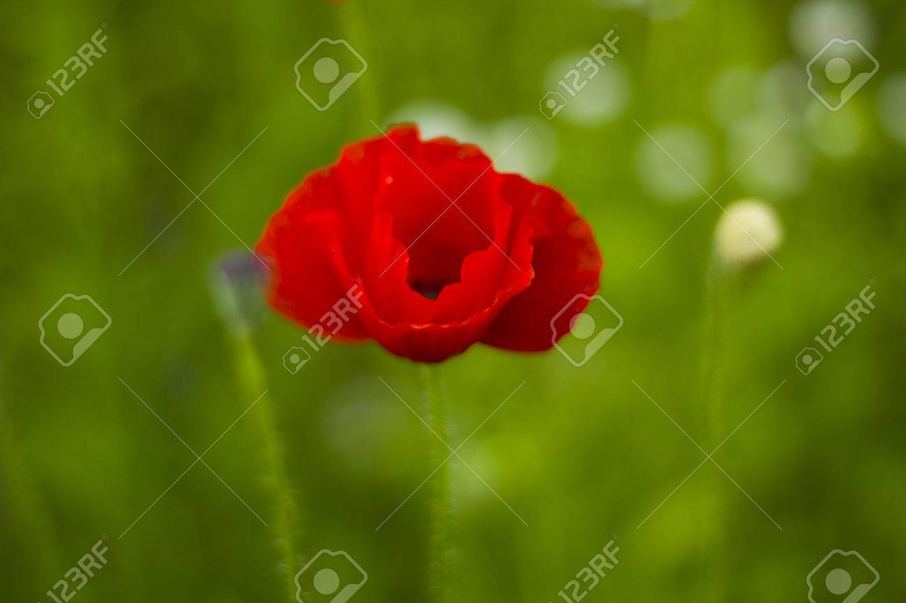 Red Poppy Flowers With Bud In Field Blured Stock Photo Picture And