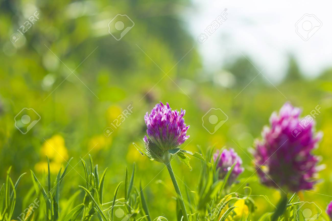 Summer Field With Yellow And Pink Flowers Clover Wild Meadow
