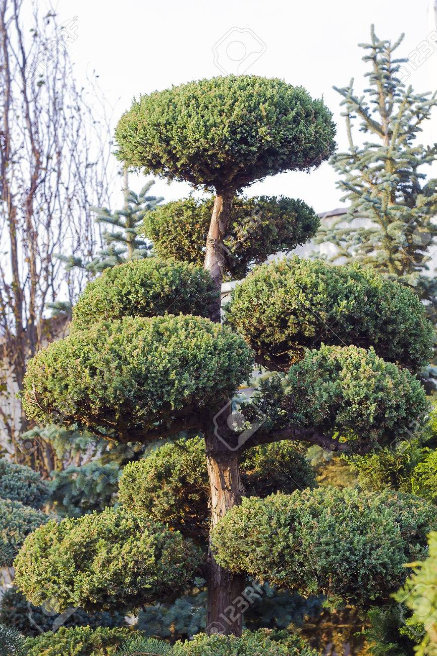 High Taxus Evergreen Coniferous Topiary In Form Of Clouds Tree Stock Photo Picture And Royalty Free Image Image 83913704