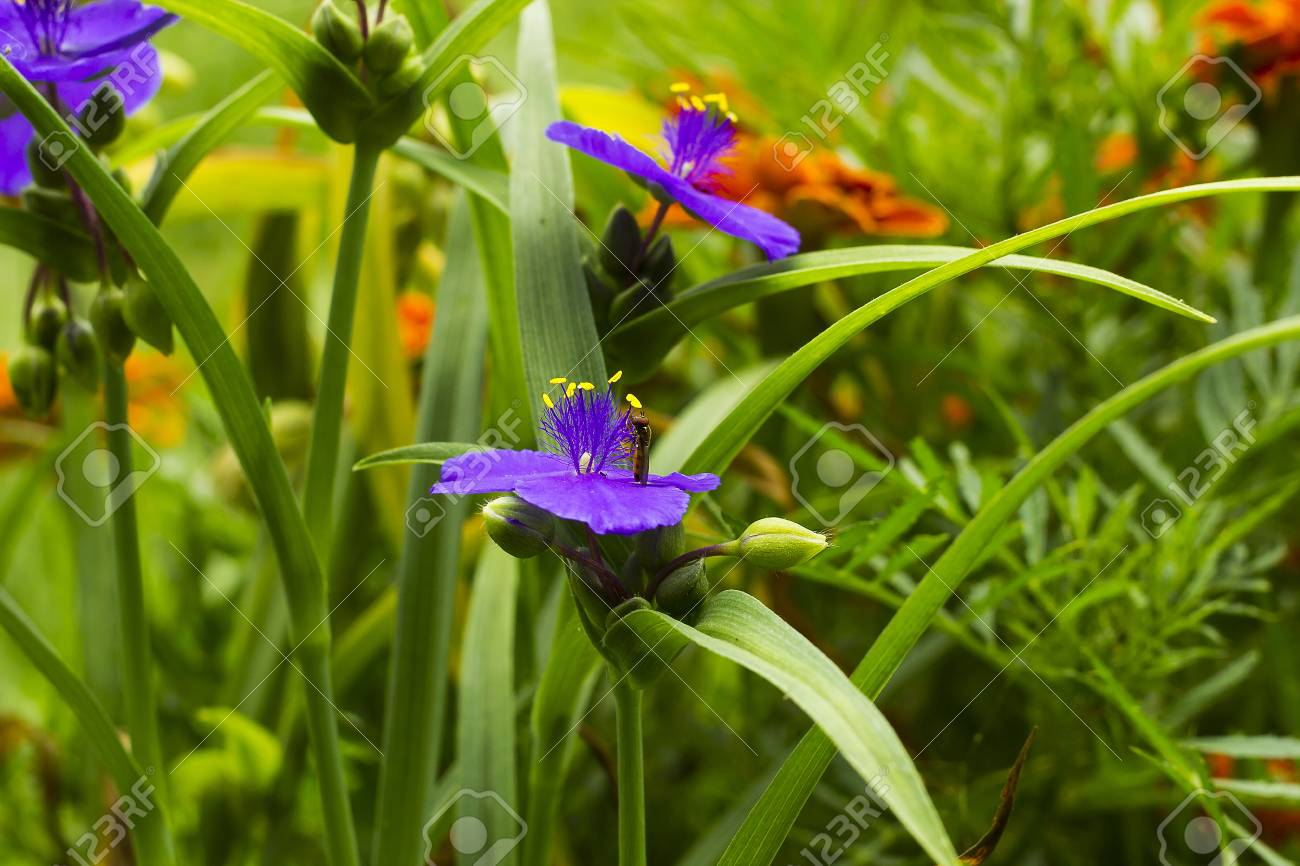 Violet flowers with yellow anthers tradescantia in summer garden stock photo violet flowers with yellow anthers tradescantia in summer garden small hoverfly on flower side view mightylinksfo