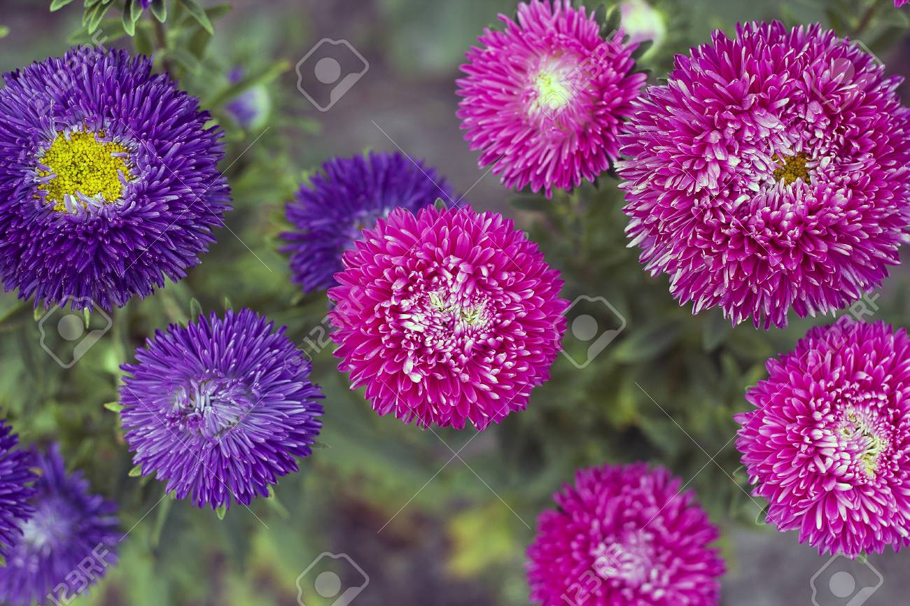 Pink And Violet Asters Flowers Grow In Garden Vintage Colors Stock