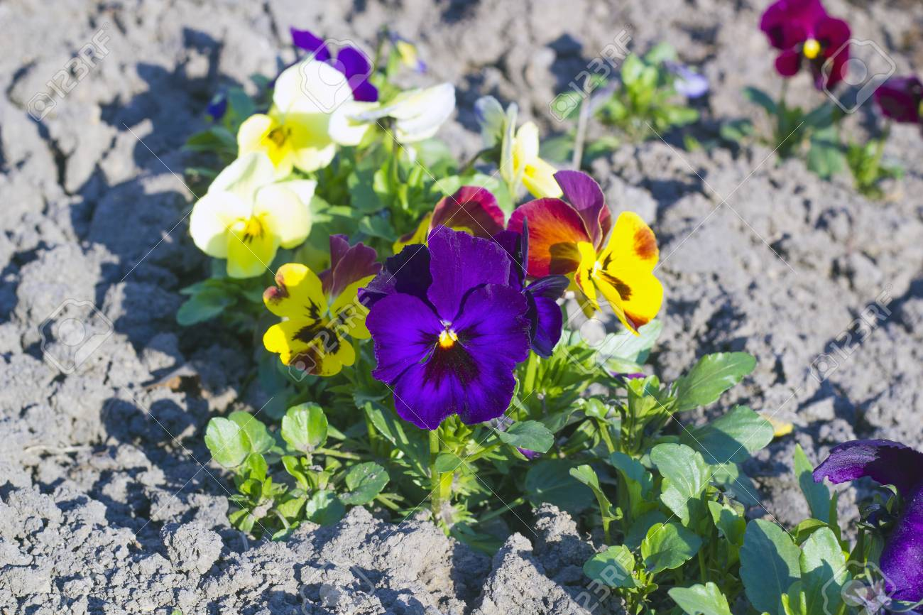 Multicolored Pansies Flowers Grow On Flowerbed Stock Photo Picture