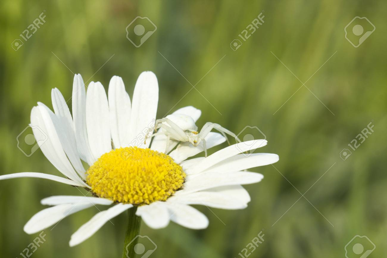 White flower crab spider misumena vatia sits on daisy flower stock stock photo white flower crab spider misumena vatia sits on daisy flower and waits for prey green blurred background mightylinksfo