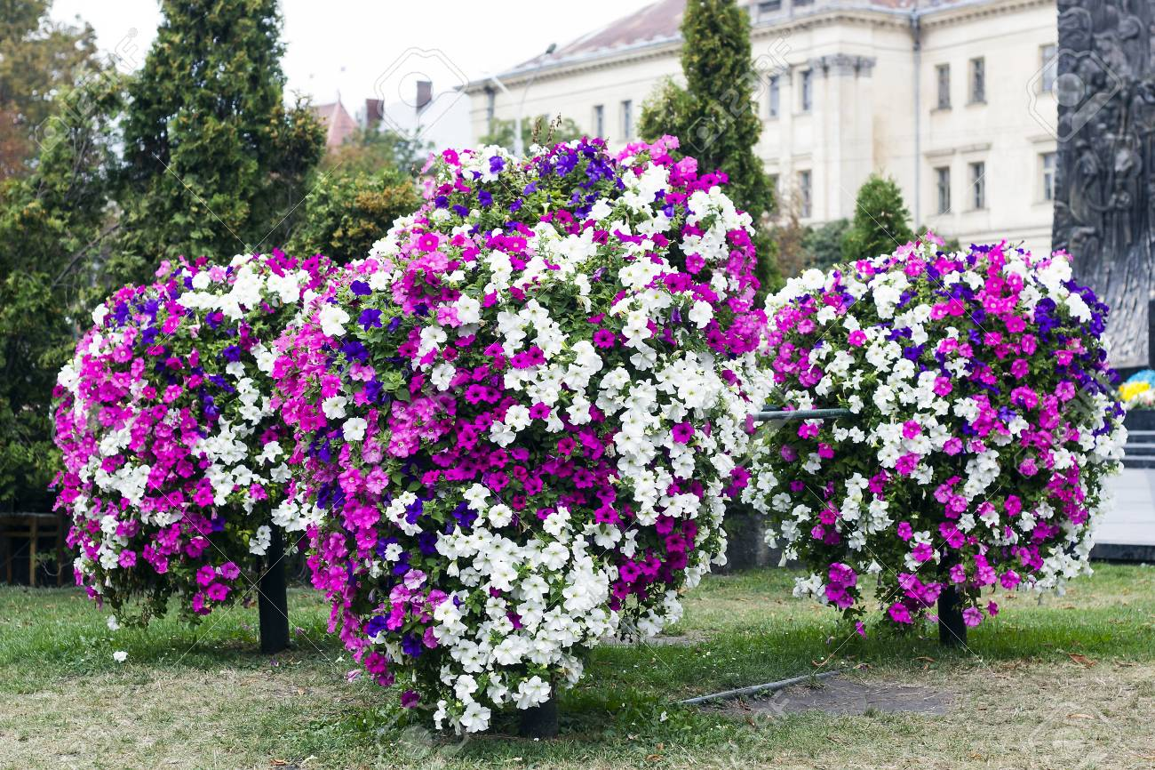Multicolored Petunia Flowers Grow On City Flowerbed Summer Day Stock Photo Picture And Royalty Free Image Image 101649146