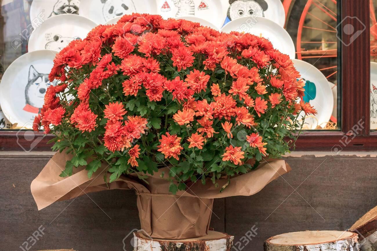 Bouquet Of Orange Chrysanthemums Flowers In Flowerpot Wrapped