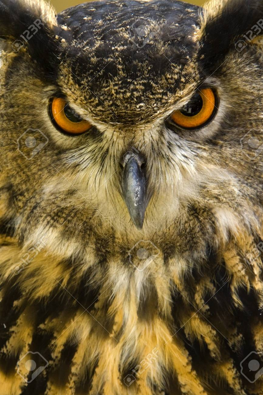 Der Uhu Bubo Bubo Oder Ist Eine Art Der Uhu. Dieser Große Vogel ...