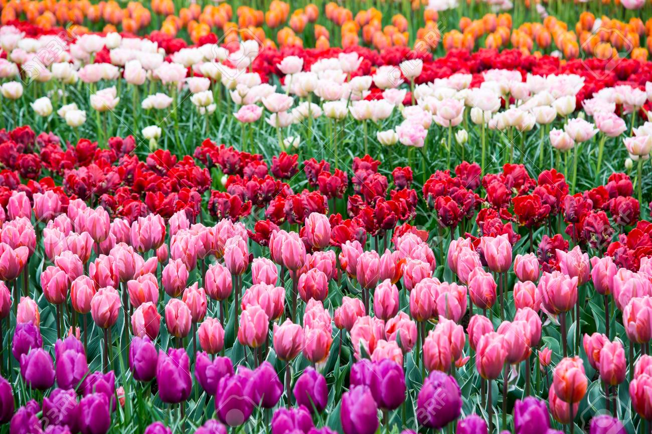 Beautiful Blooming Flowers In Park Netherlands Stock Photo Picture