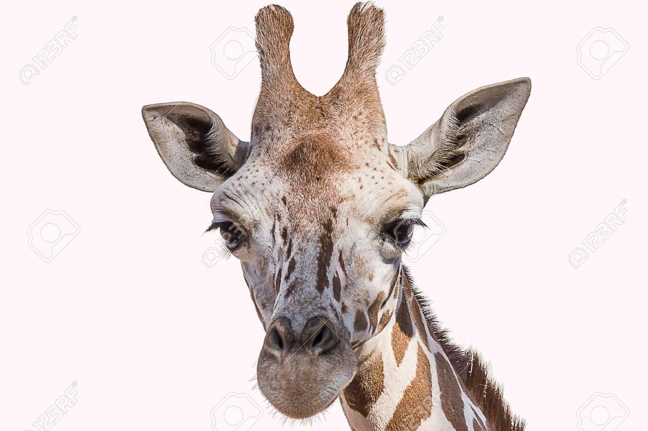 The Angolan giraffe (Giraffa giraffa angolensis), also known as the Namibian giraffe, is a subspecies of giraffe that is found in northern Namibia - 153426822