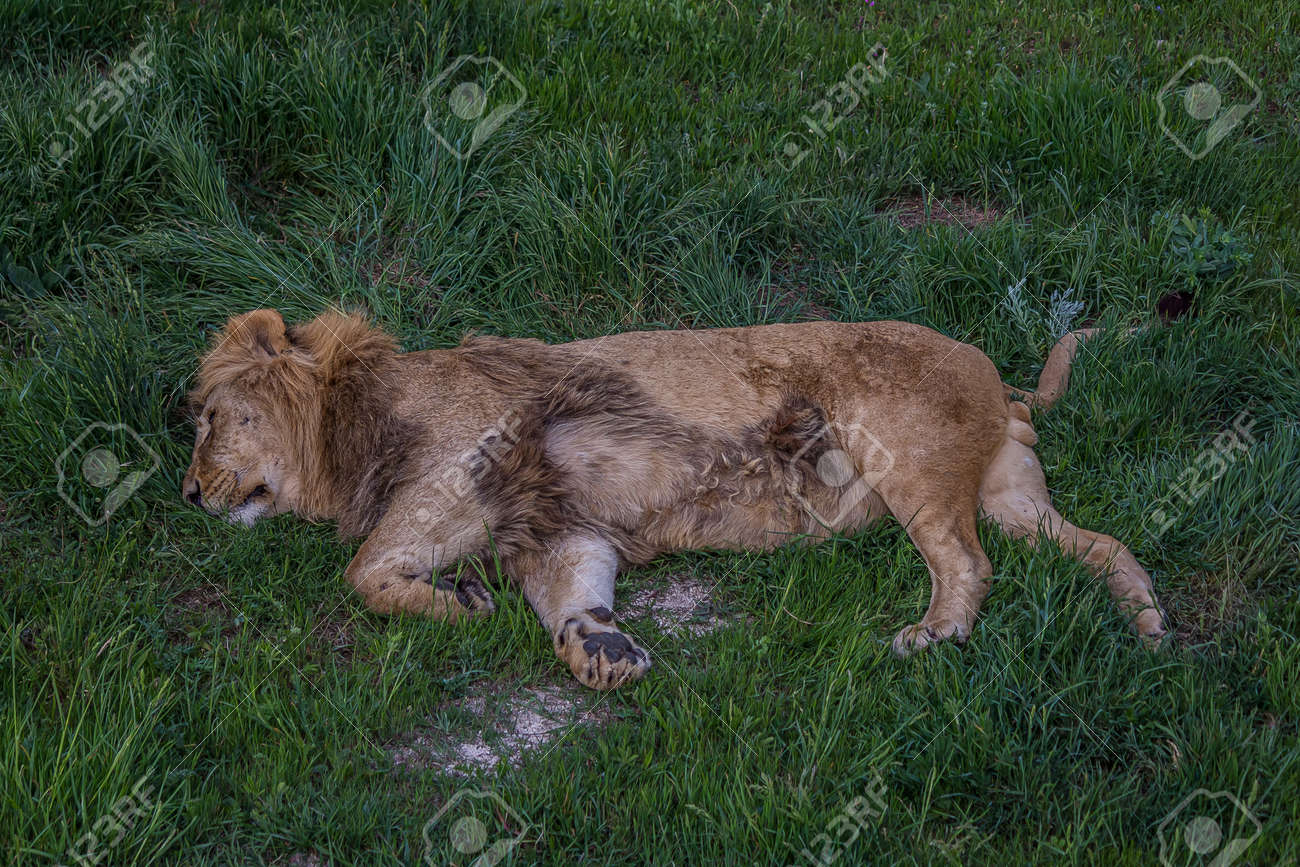 Big lion sleeping on grass lying on its side. The lion (Panthera leo) is a species in the family Felidae. Typically, the lion inhabits grasslands and savannas, but is absent in dense forests - 156515153