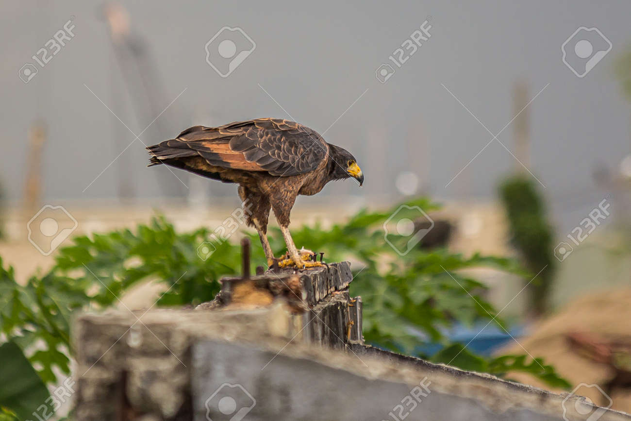 A small predatory hawk sits on an old wall and looks out for prey. The roadside hawk (Rupornis magnirostris) is a small bird of prey found in the Americas. Dwells in forests, savanna and shrubland. - 165108530