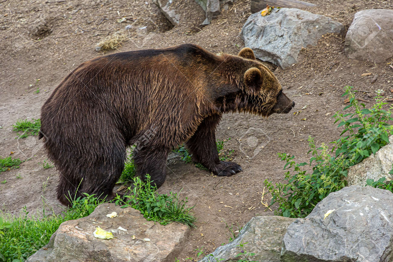 A large brown bear walks on rocky ground with grass. The Eurasian brown bear (Ursus arctos) is the largest predator. It lives in forest, shrubland, grassland and wetlands. - 169069543