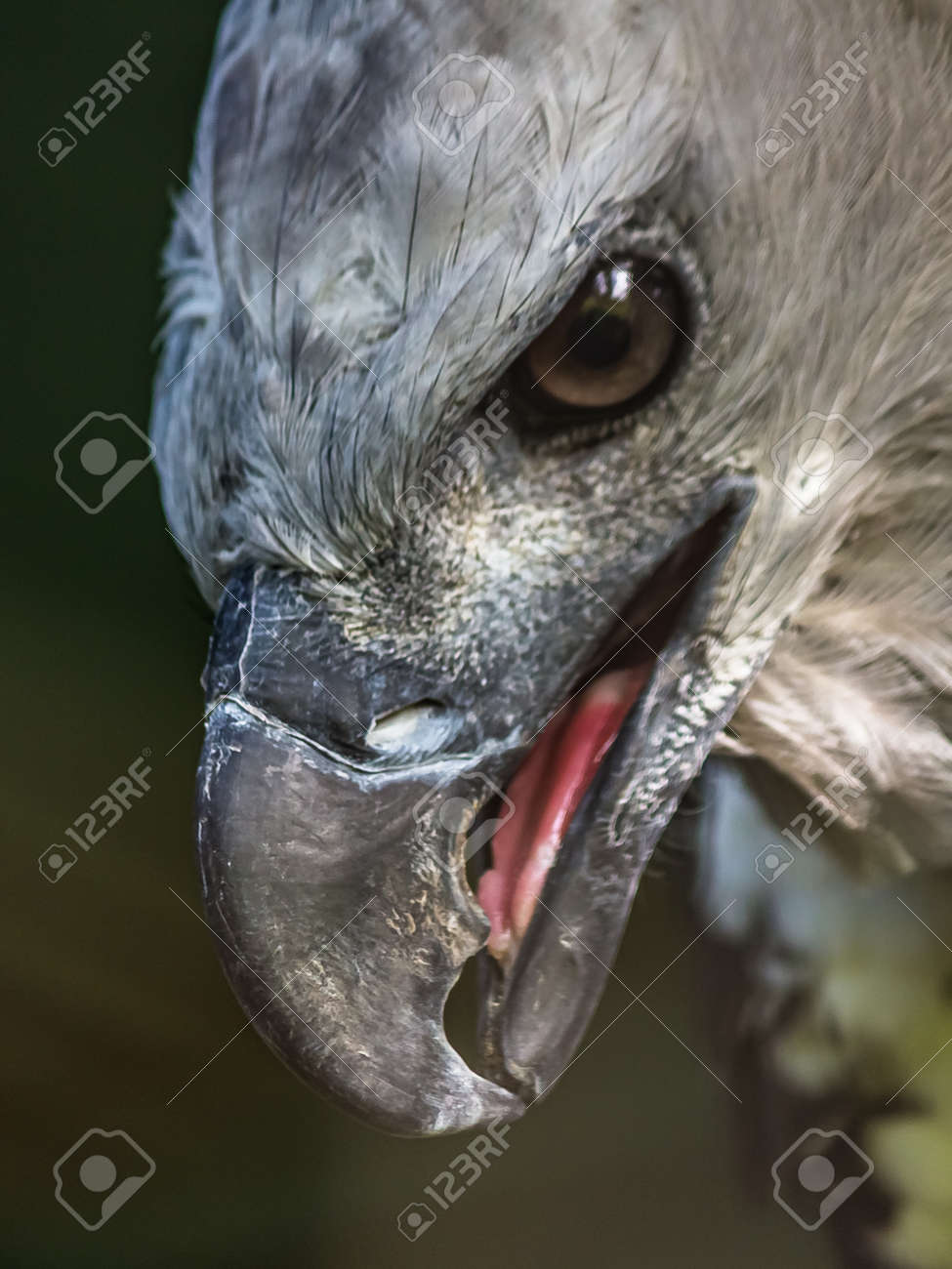 Close-up profile portrait of a harpy eagle. The American harpy eagle (Harpia harpyja) lives in the tropical lowland rainforests of America. It's a Near Threatened species. - 170626905