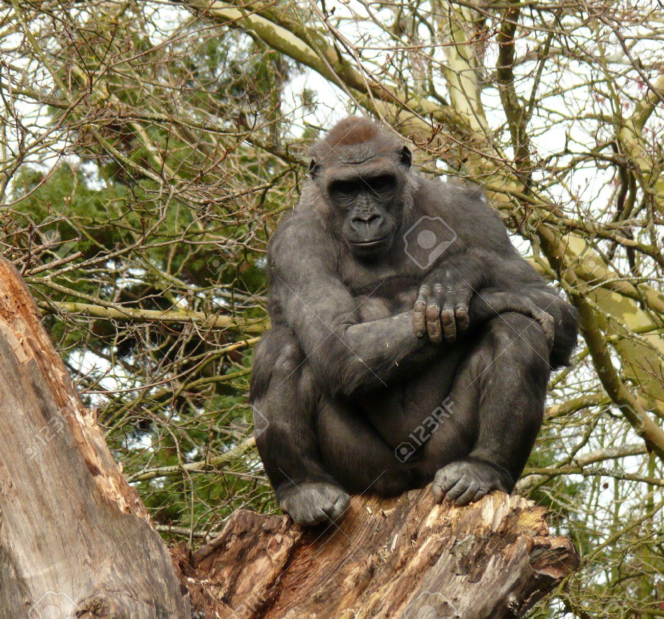 Thoughtful gorilla on a tree Stock Photo - 14822457