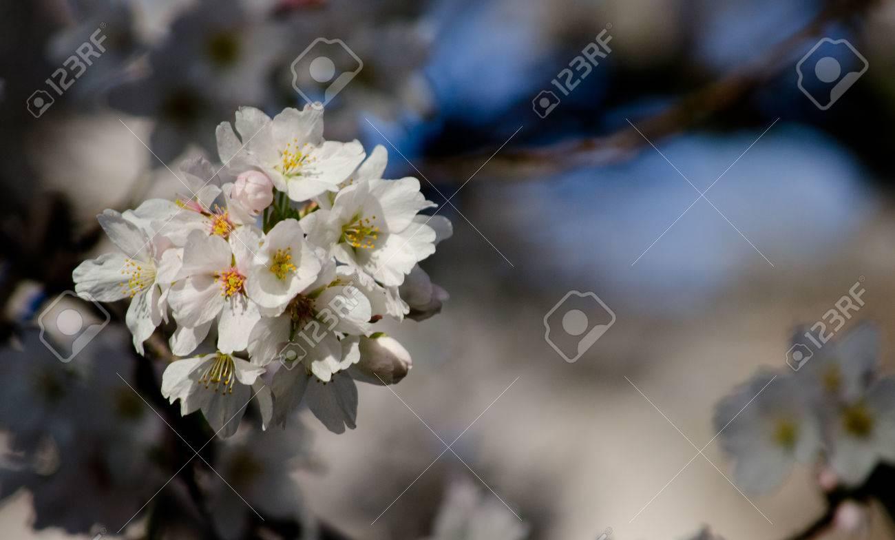 Bouquet En Surbrillance De Fleurs De Cerisier Blanc Dans Les Ombres