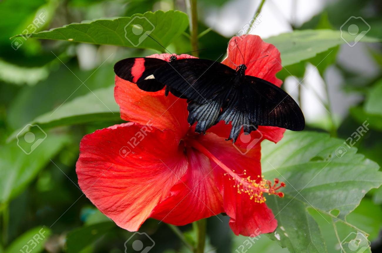 Great mormon butterfly on red hibiscus flower in botanical garden great mormon butterfly on red hibiscus flower in botanical garden in scottsdale arizona stock photo izmirmasajfo