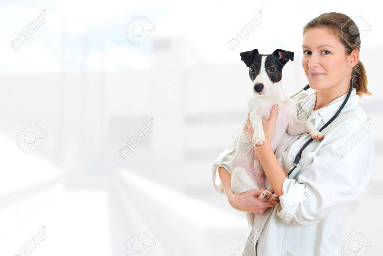 Female veterinarian holding jack russell terrier on hospital background Stock Photo - 18493669