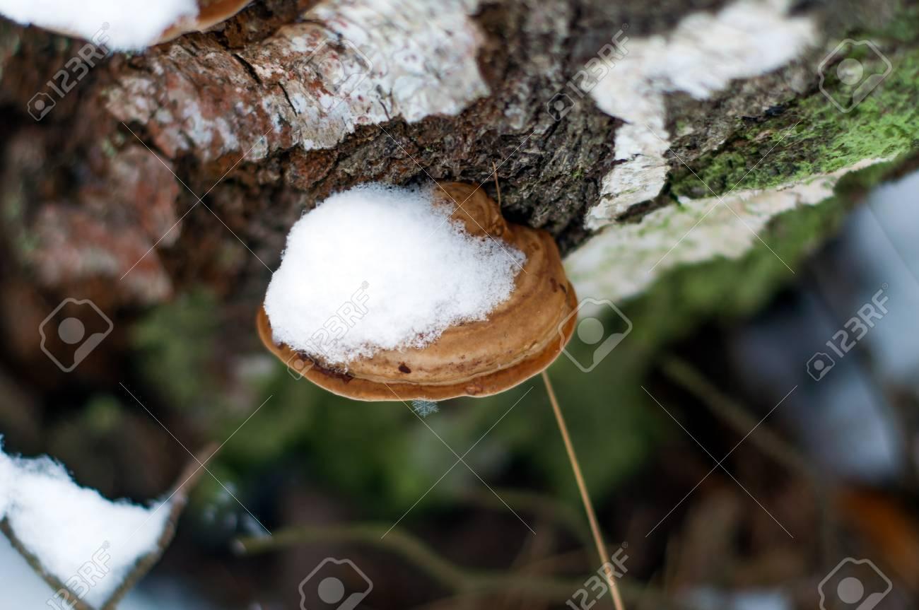 白樺のある多孔菌 ロイヤリティ...