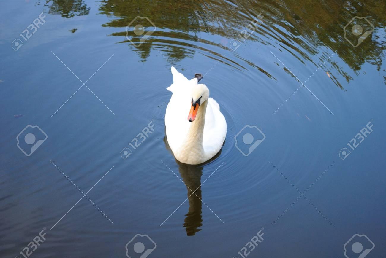 Swan on a pond - 4358331
