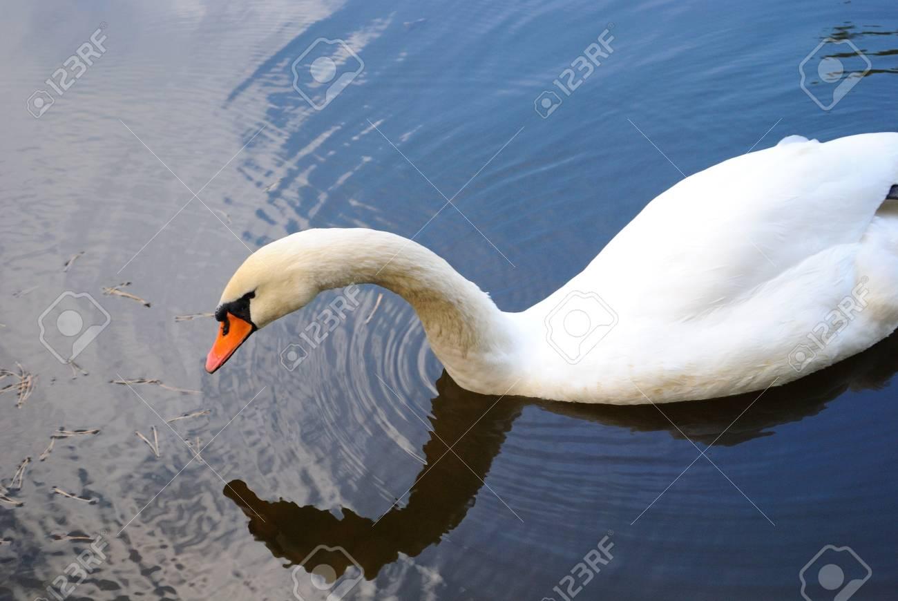 Floating swan - 4358313