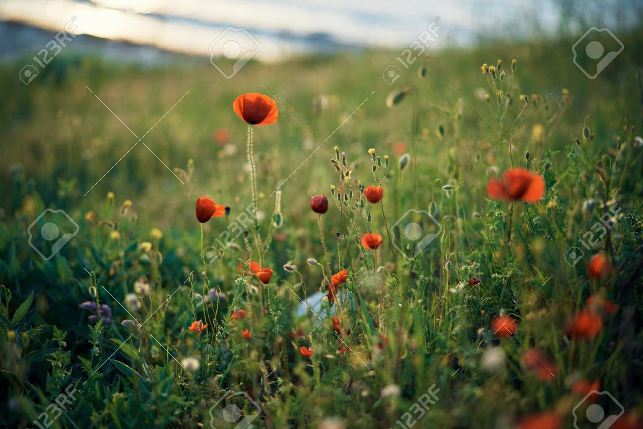 A Field Of Flowers By The Sea On The Mountain Poppies