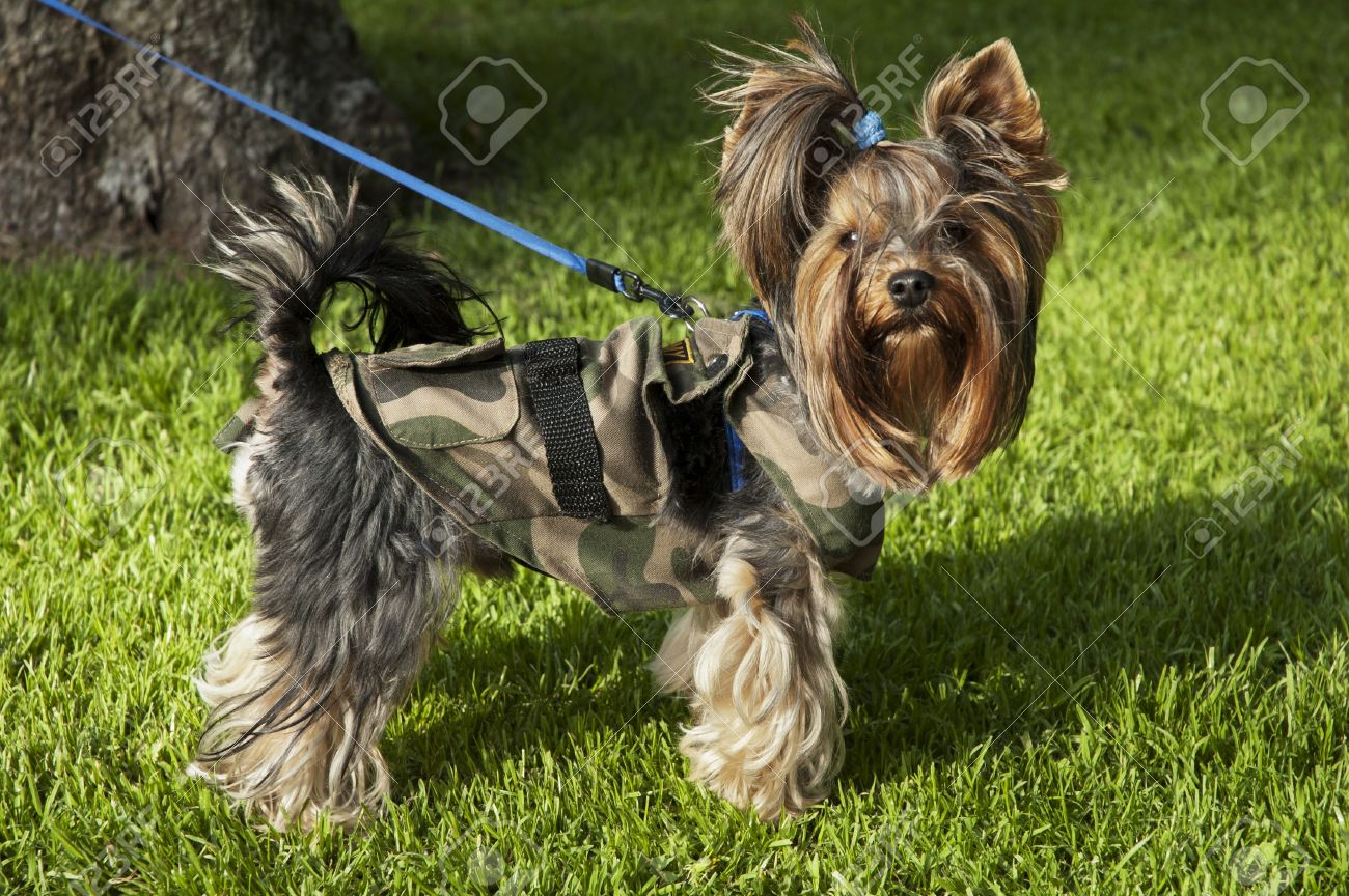 Dog - yorkshire terrier on a leash for a walk Stock Photo - 14637507