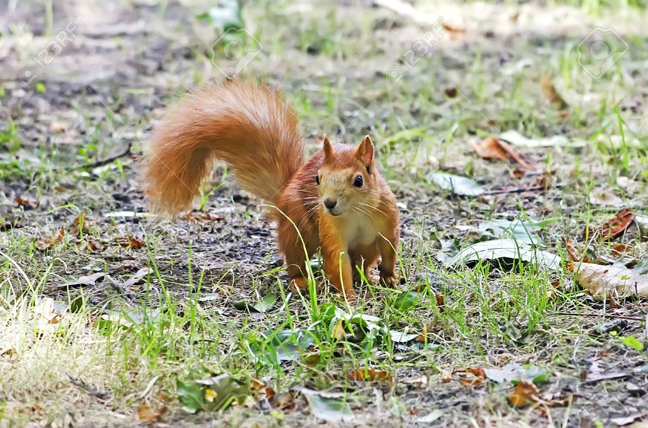 Squirrel standing on the grass Stock Photo - 15421553