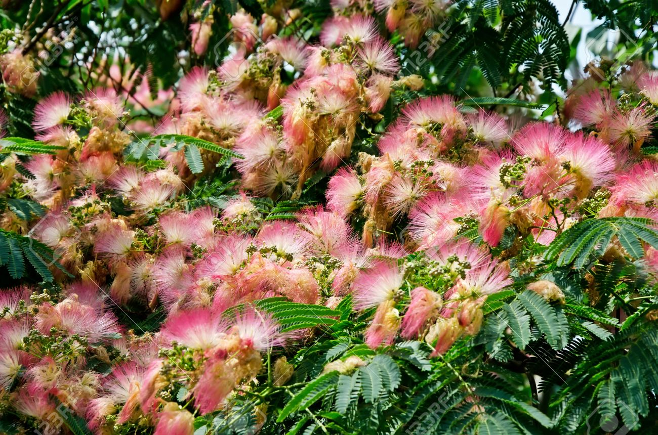 Beautiful Pink Flowers On The Tree Japanese Acacia Albizia