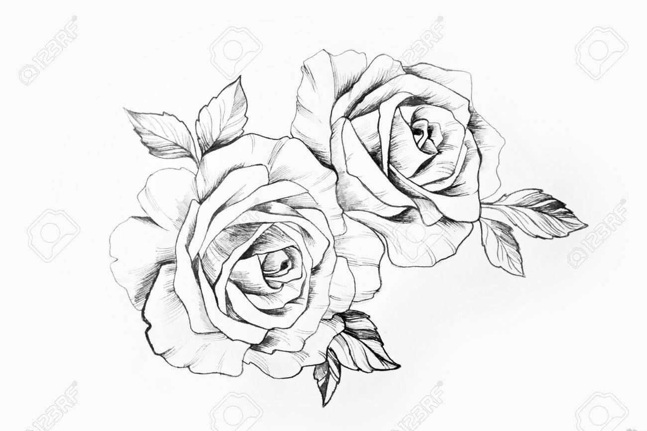 Sketch Of A Branch Of Beautiful Roses On A White Background Stock Photo Picture And Royalty Free Image Image 81149117