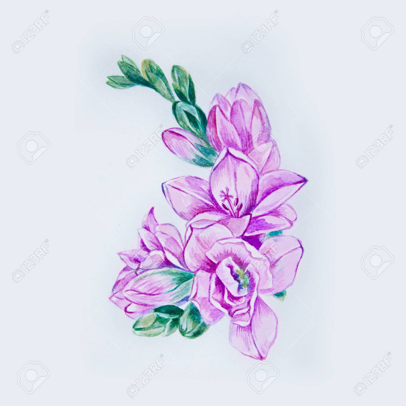 a0261273f Sketch of a beautiful purple freesia flower on a white background. Stock  Photo - 86414189