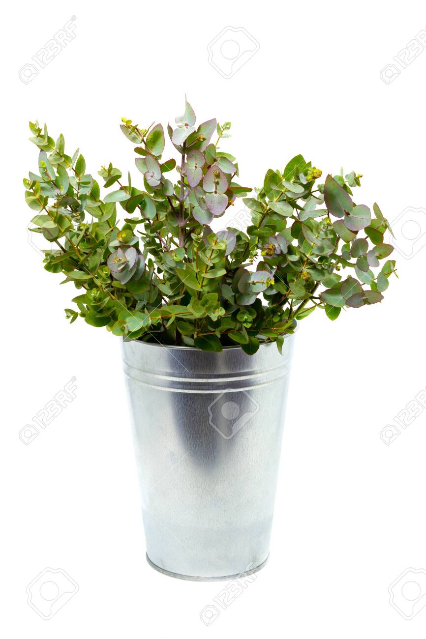 fresh eucalyptus in a vase on a white background - 133695310