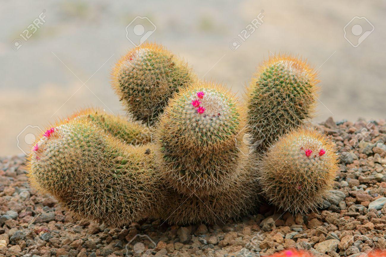 Cactus Smal Avec Fleur Rose Dans Le Desert De Sable Banque D Images